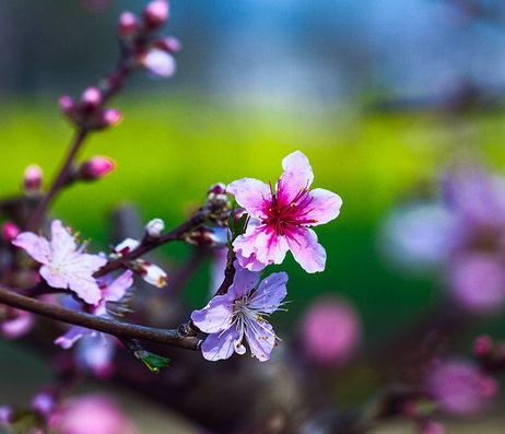 无锡阳山,在那桃花盛开的地方