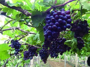 玫瑰香葡萄9月中旬大量上市