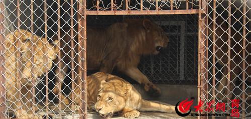 非洲狮空降青岛森林野生动物世界 平均年龄两岁