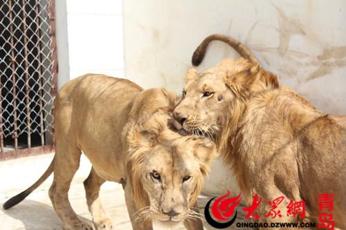 非洲狮空降青岛森林野生动物世界
