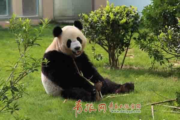 大熊猫 动物 狗 狗狗