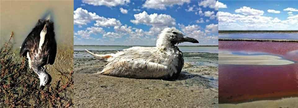 鄂尔多斯化工区逾万只珍禽离奇死亡