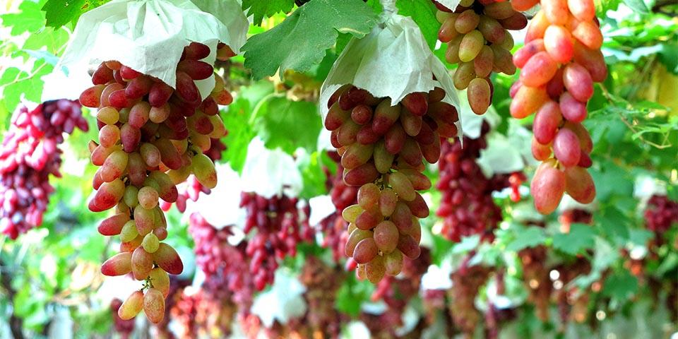 大泽山:葡萄架下声名远扬 穗大粒饱惹人爱