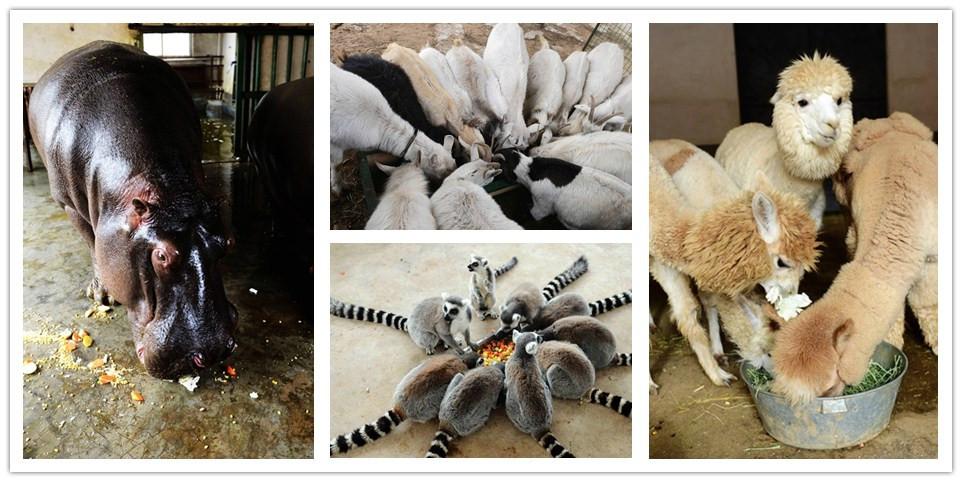 """青岛森林野生动物世界 排排坐抢吃""""腊八粥"""""""