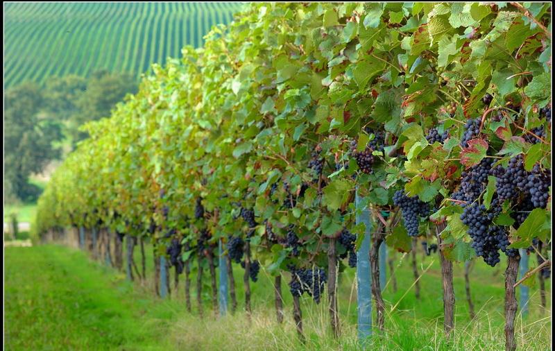 大泽山葡萄种植园