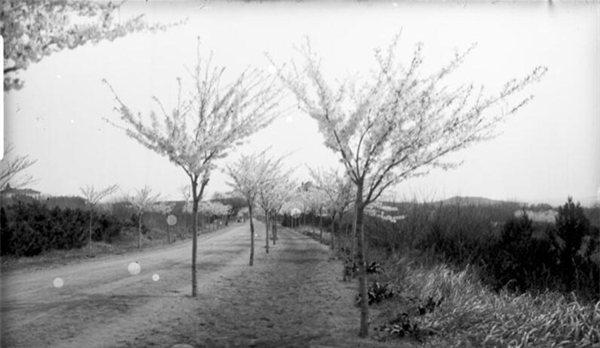 老照片:1910年青岛的樱花街道