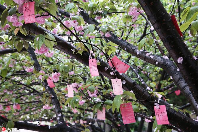 """樱花树成""""许愿树"""",挂满高三生心愿"""