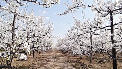 莱西首届梨花节今日开幕