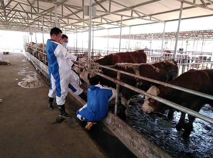 新河动监站全面开展普通牛羊布病、奶牛结核病监测工作