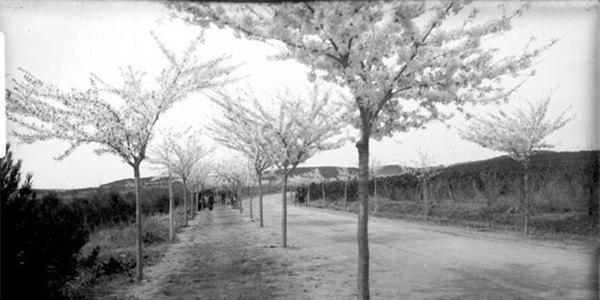 老照片:1910年青島中山公園的櫻花長這樣