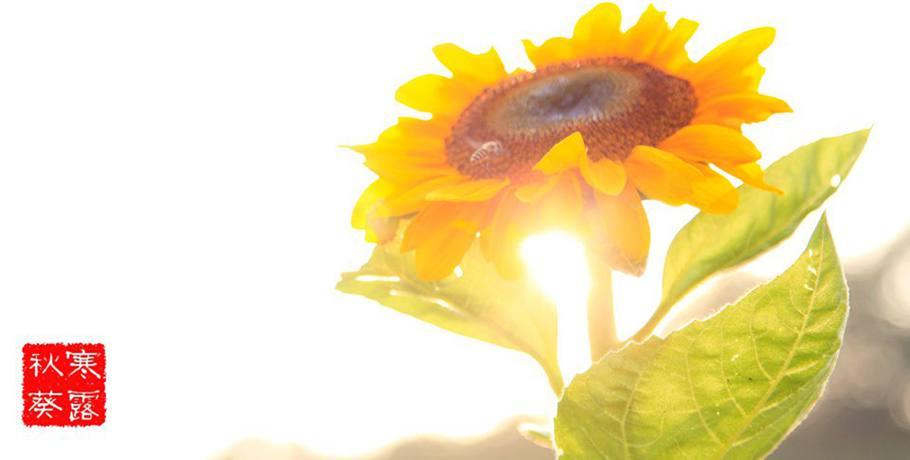 一朝霜降,稻怕寒霜。鸿雁归,葵子香。寒露时节,菊有黄华。