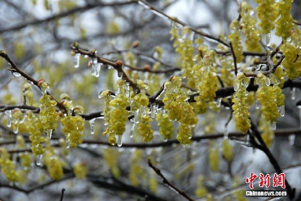 黄山景区现罕见春季冻雨冰挂景观