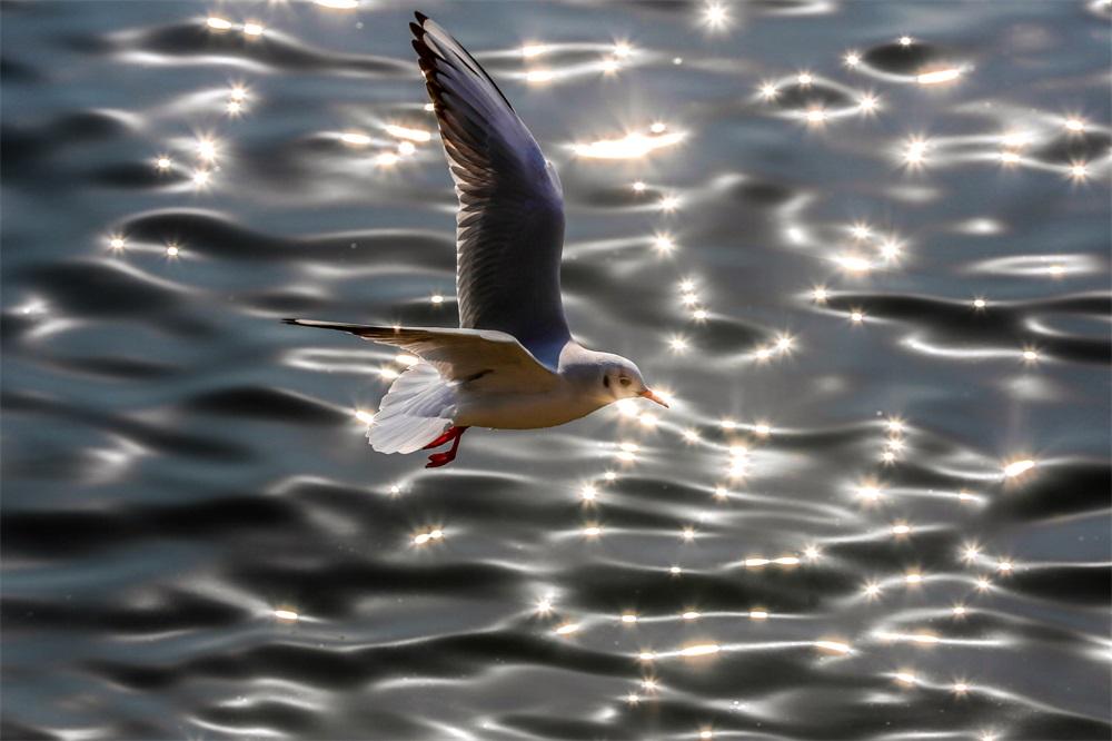 冬日前海美景如画 海鸥展翅长空翱翔
