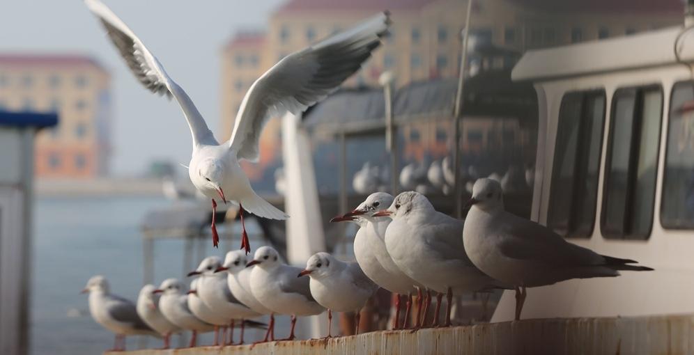 萌态十足!海鸥列队休闲如同阅兵