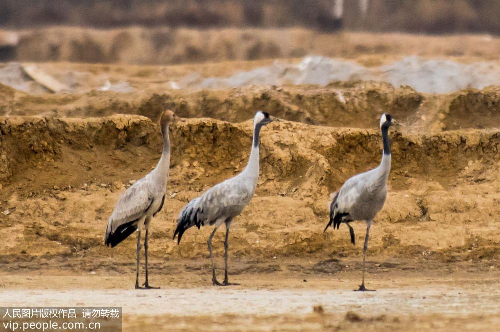 11月12日,珍稀濒危鸟类灰鹤现身胶州湾湿地。