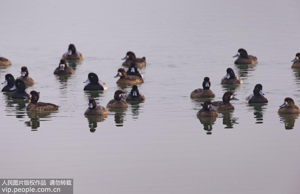 11月12日,罕见的斑背潜鸭现身青岛胶州湾湿地。