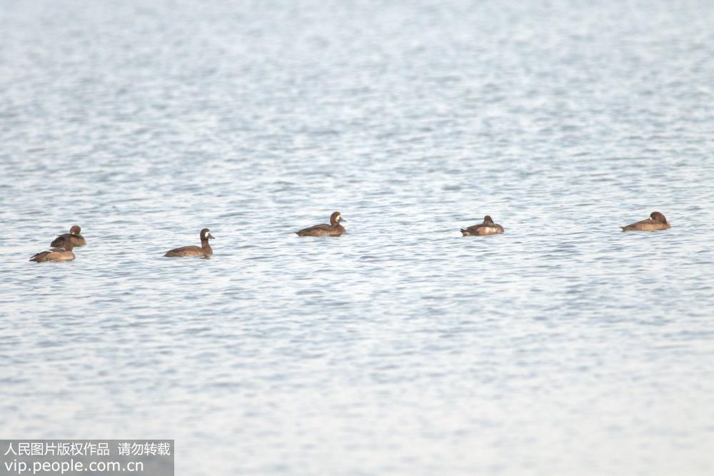 11月12日,拍摄到6只罕见的斑背潜鸭现身青岛胶州湾湿地。