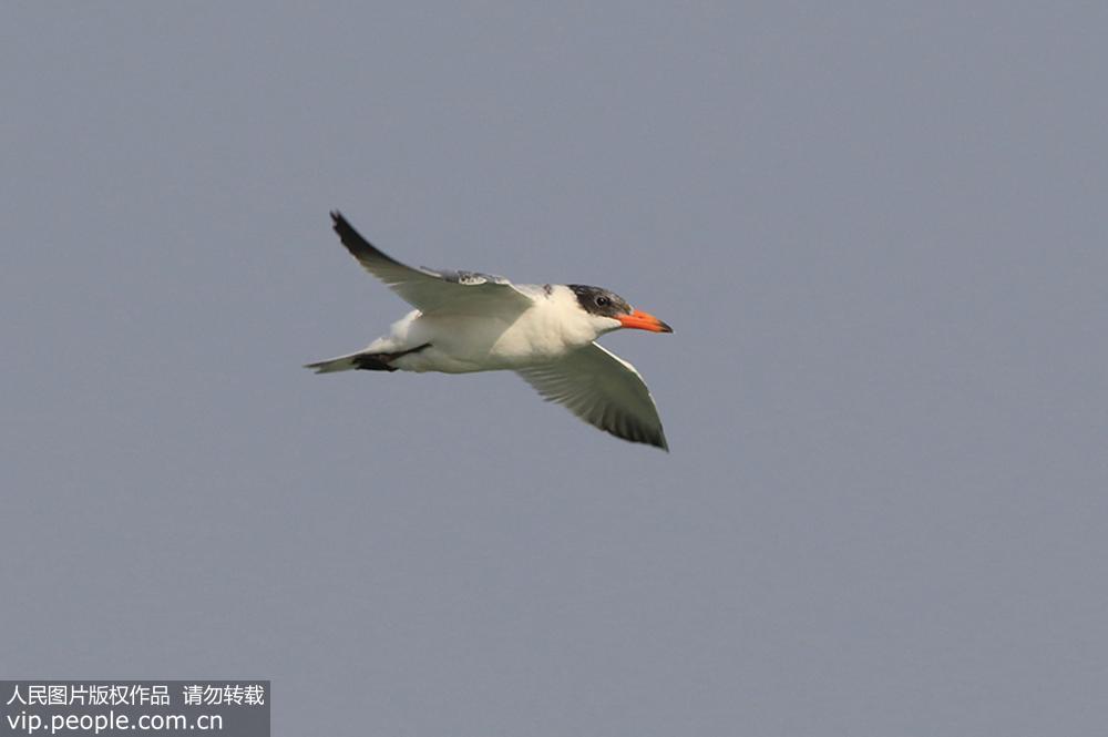 11月12日,红嘴巨鸥在青岛市胶州湾湿地觅食。