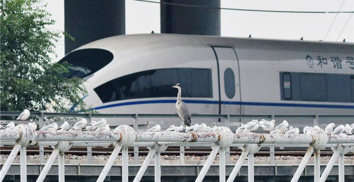 """大批红嘴鸥越冬青岛 入海口现""""最美""""观鸟高铁"""