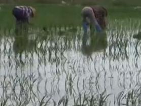我国今年首次大范围试种海水稻数亿亩盐碱地有望成粮仓