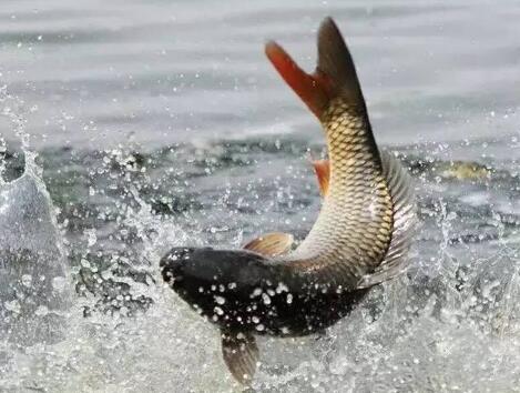 黄河首次禁渔 土著鱼有望在家园无忧畅游