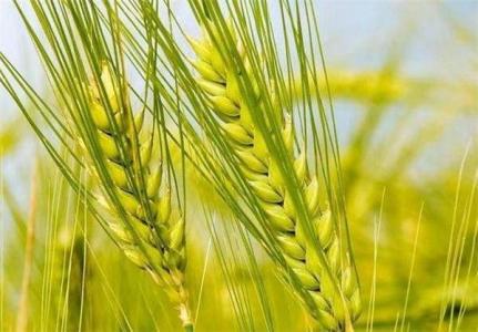 我国完成小麦A基因组测序 有望加速小麦遗传改良