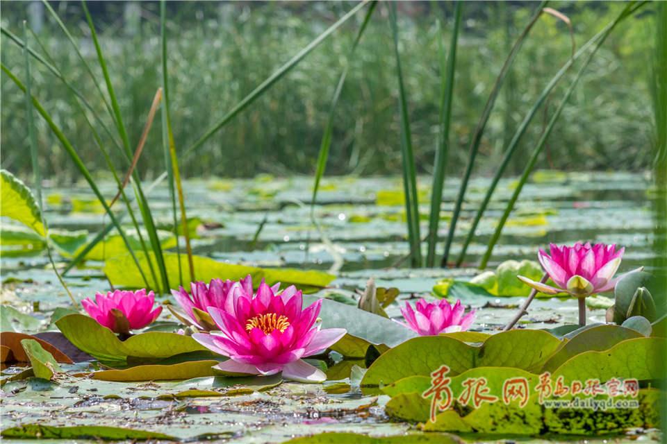 远处碧绿的水草,近处浓艳的莲花.图片