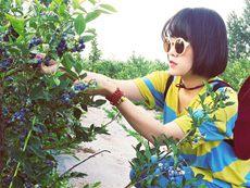 变资源优势为经济优势,小小蓝莓成莱西农民增收大产业