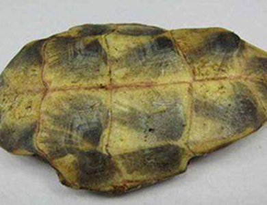 """中国发现重要原始龟化石 证明龟类演化""""循序渐进"""""""