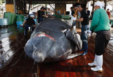 日本挪威等25国投下反对票 新设鲸保护区倡议落空