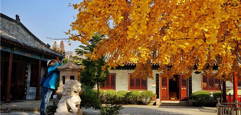"""色彩绚丽!青岛1600岁银杏树披上""""黄金甲"""""""