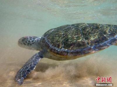 美马萨诸塞州海龟冲上海岸被冻死 全球变暖或为祸首