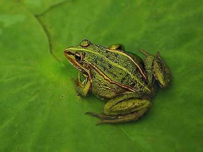 蛙类的?#32842;?#33521;媒:受?#26053;?#30495;菌影响 青蛙将成濒危物种