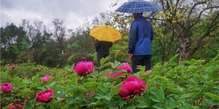 實拍:雨晨中山公園牡丹花盛開,嬌艷動人