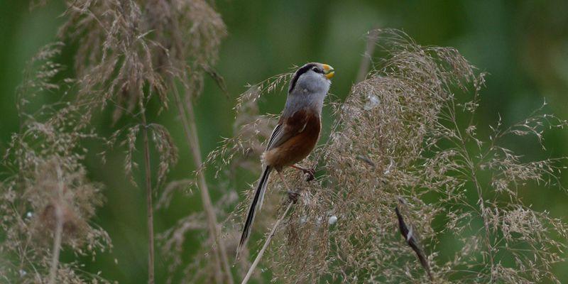 萌鳥出擊!城陽白沙河水鳥進入繁殖季