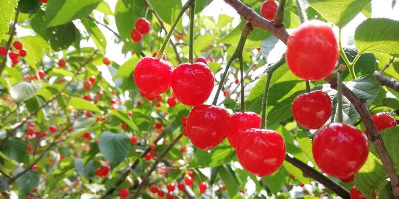 第24屆北宅櫻桃節開幕 萬余畝櫻桃等你來摘