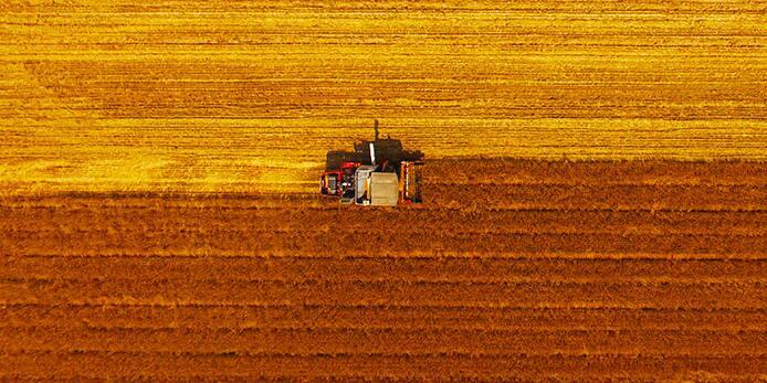 胶州:麦田撒金黄 农人收割忙