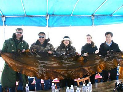 海洋所专家团队培育杂交海带实现年产20亿株