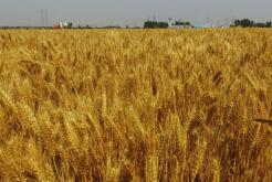 青岛夏粮收购拉开帷幕 小麦开秤价每市斤1.13元左右