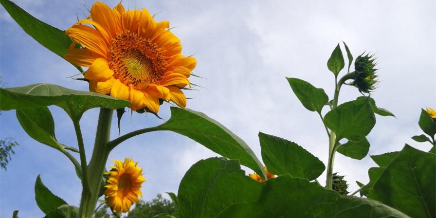 向日葵悄然盛开,扮靓仲夏