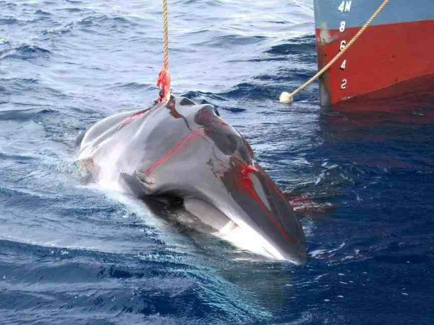 日本今正式?#25351;?#21830;业捕鲸 日媒:将招致更多批评