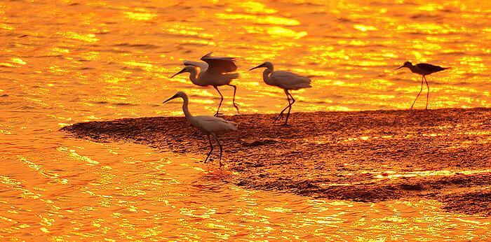 水光瀲滟夕陽好 墨水河入海口濕地鷺鳥翔集