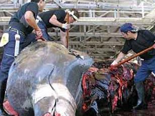 日本商業捕鯨重啟已滿1個月:雖捕撈順利但需求不振