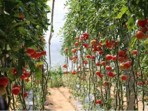 青島唯一!平度崔家集鎮獲建國家農業產業強鎮