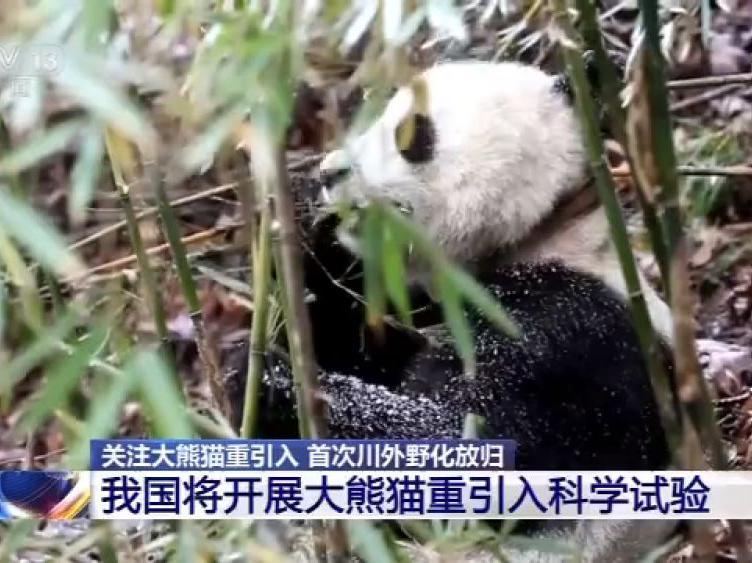 歷史首次!三只大熊貓將在四川以外的地方野化放歸