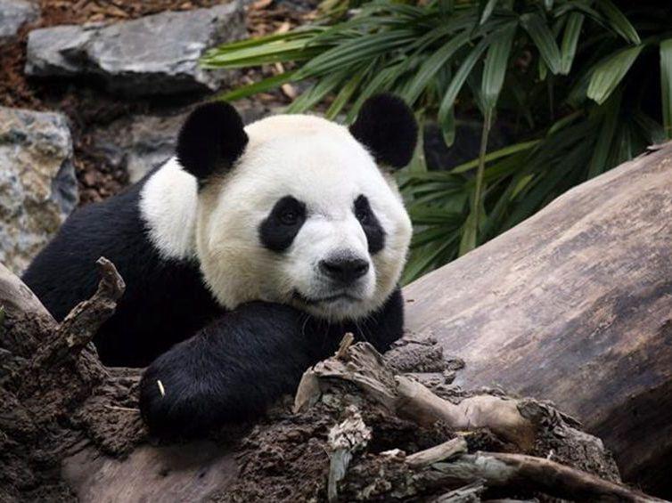 旅加大熊貓受疫情影響將提前兩年歸國