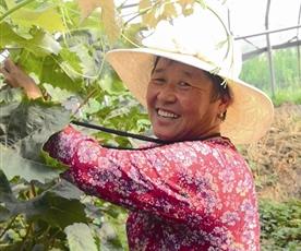 萊西馬連莊鎮:32個溫室大棚爬滿葡萄藤