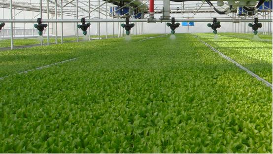 """一天賣20萬棵,這個青島人被譽為""""亞洲生菜大王"""""""